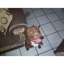 Sensual American Pitbull Terrier Red Nose Montas Toluca