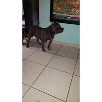 Pongo Mi Perro Para Montas Vara Buena Estructura 1 Año Edad