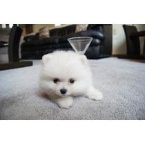 Cachorros Pom Miniatura Blanco Disponibles