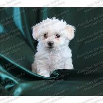 Gran Oferta Cachorros French Poodle Tacita De Te Tcup Fcm