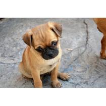 Preciosa Cachorra Pug