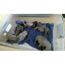 Preventa - Cachorros Pug (pedigree, Tatuaje Y Chip)