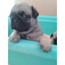 Cachorritas Pug De 6 Semanas Vacunadas Y Desparasitadas