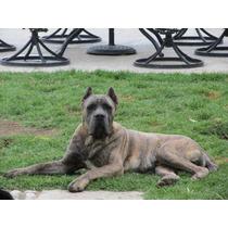 Criadero Classicorso, Cachorros Cane Corso Italiano