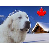 Gigante De Los Pirineos (cachorros Aptos Registro) Apartalo