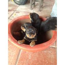 Rottweiler Garantizados