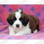 Gran Oferta Cachorros San Bernardo Beethoven Enormes Cpr Fcm