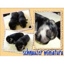Cachorros Schnauzer Miniatura Pedigree Internacional