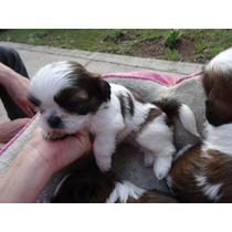 Encantadores Cachorros Shih Tzu 4 Machos