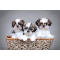 Shitzu Cachorros Aptos Para Registro