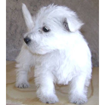 West Highland White Terrier Cachorros De Decencia Francesa