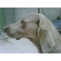 Weimaraner Macho Semental