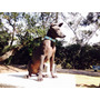 Xolo Xoloitzcuintle Cachorro Macho Estandar Xoloitzcuintles