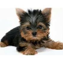 Yorkshire Terrier Cachorros Miniaturas