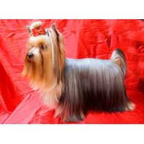 Yorkshire Terrier Macho Semental Dollar