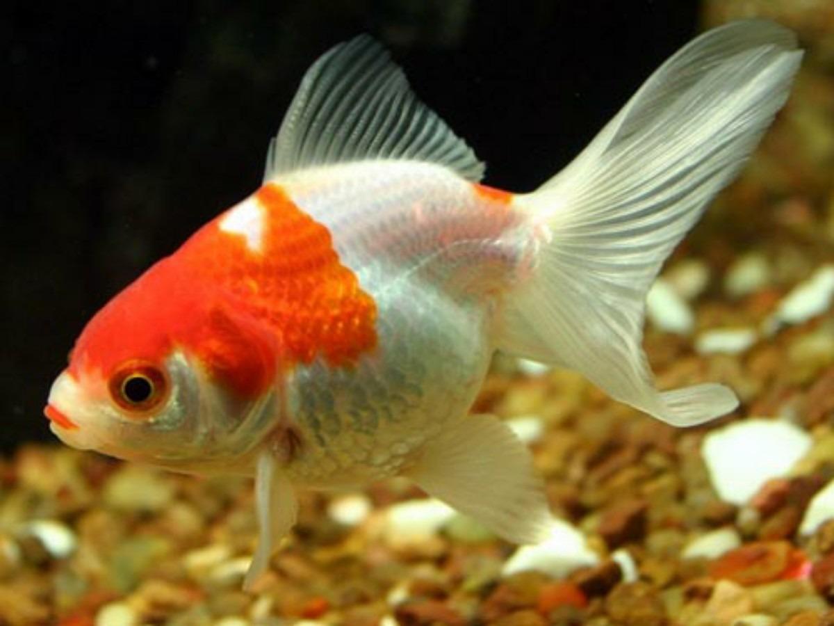 Pez japonese o goldfish en mercadolibre for Peces goldfish tipos