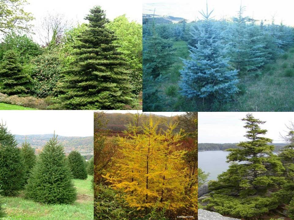 Pino 5 variedades 120 semillas en mercadolibre for Tipos de pinos para jardin