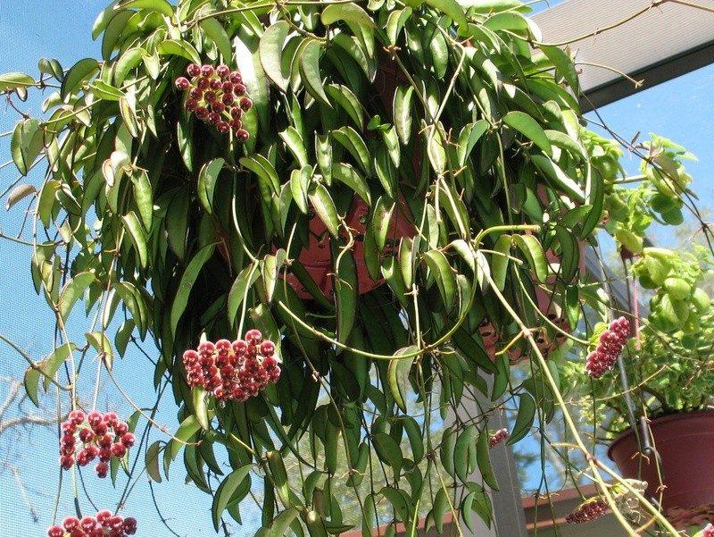 Planta ex tica hoya wayetti flor de cera flor porcelana en mercadolibre - Hoya de cocina ...