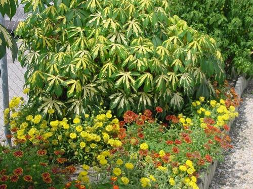 Planta tapioca variegada yuca cubana cassava 4 rizomas for Planta yuca exterior