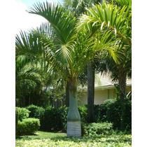 Palma Hyophorbe Verschaffeltii 90cms Preciosa!