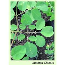 Moringaoleifera (hojas)
