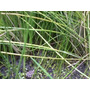 Pasto Acuático. Plantas Acuaticas