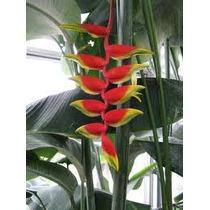 Flores Exóticas Heliconia Rostrata