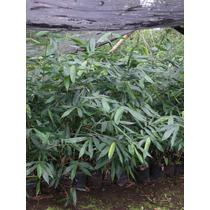 Planta Bambu Oldhamii