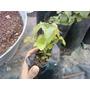 Plantita De Pachuli Perfume Aromatica Pogostemon Cablin