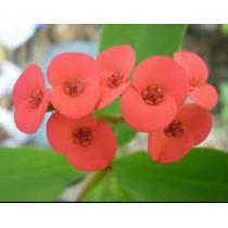 Corona De Cristo Flor Roja Chica