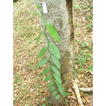 Planta De Vainilla, Orquidea Papantla,veracruz