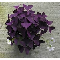 Trebol Morado, Oxalis Triangularis