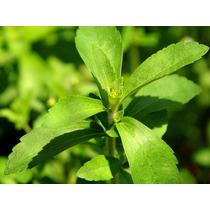Stevia (planta)
