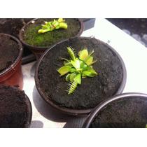 >>> Plantas Carnivoras Venus Atrapamoscas Mediana