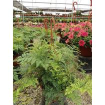 Planta Helecho Davallia Canariensis