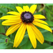 Black Eyed Susan 20 Semillas Flores Jardín Planta Sdqro