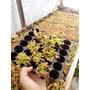 Carnívoras Dionaeas Mayoreo Charola 105pz