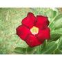 Rosa Del Desierto (planta) Roja