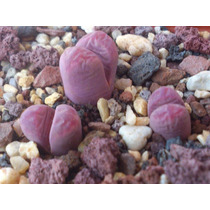Lithops 10 Semillas C81a Optica