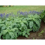 100 Semillas Kale Vates Azul Rizado Brassica Oleracea Huerto