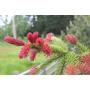 15 Semillas De Picea Rubra (abeto Rojo) Codigo 919