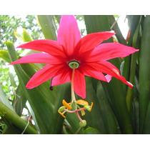 30 Semillas De Passiflora Antioquiensis