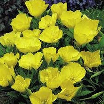 Primrose Amarilla 20 Semillas Flor Jardín Planta Flor Sdqro