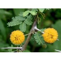 Acacia Farnesiana 10 Semillas Árbol Desértico Sdqro