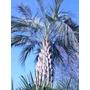 9 Semillas De Butia Capitata (palma De La Jalea) Codigo 1334