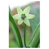 9 Semillas De Capsicum Chinense (naga Jolokia) Codigo 465