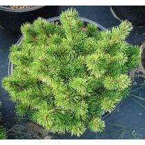 15 Semillas De Pinus Mugo Mughos - Pino Enano Codigo 942