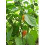 20 Semillas De Capsicum Chinense (chile Habanero) Cod. 462