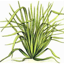 15 Semillas De Cymbopogon Citratus (te Limon) Codigo 63