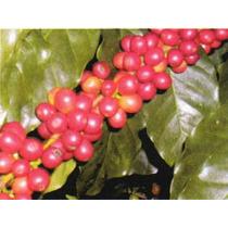 6 Semillas De Coffea Arabica (cafeto) $50 Codigo 340